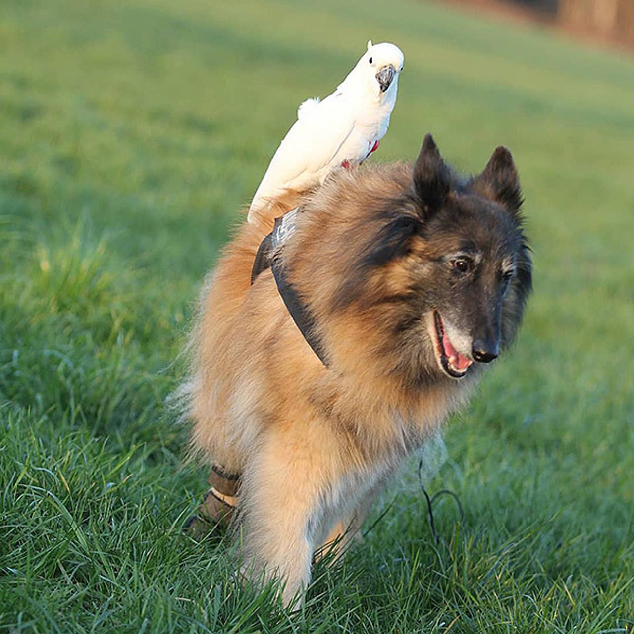 Agility Team of a Bird and a Dog