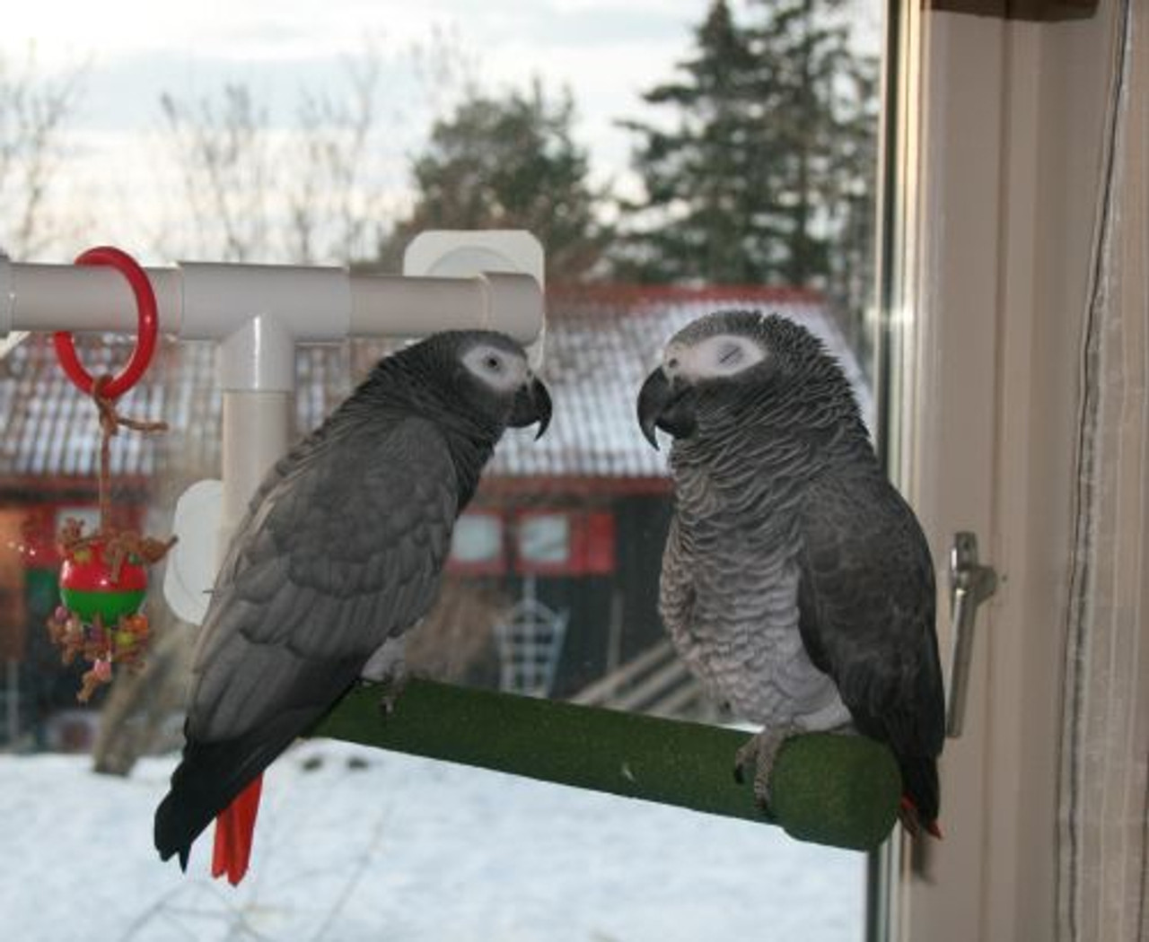 Pippi and UFO, two African Greys hang out together