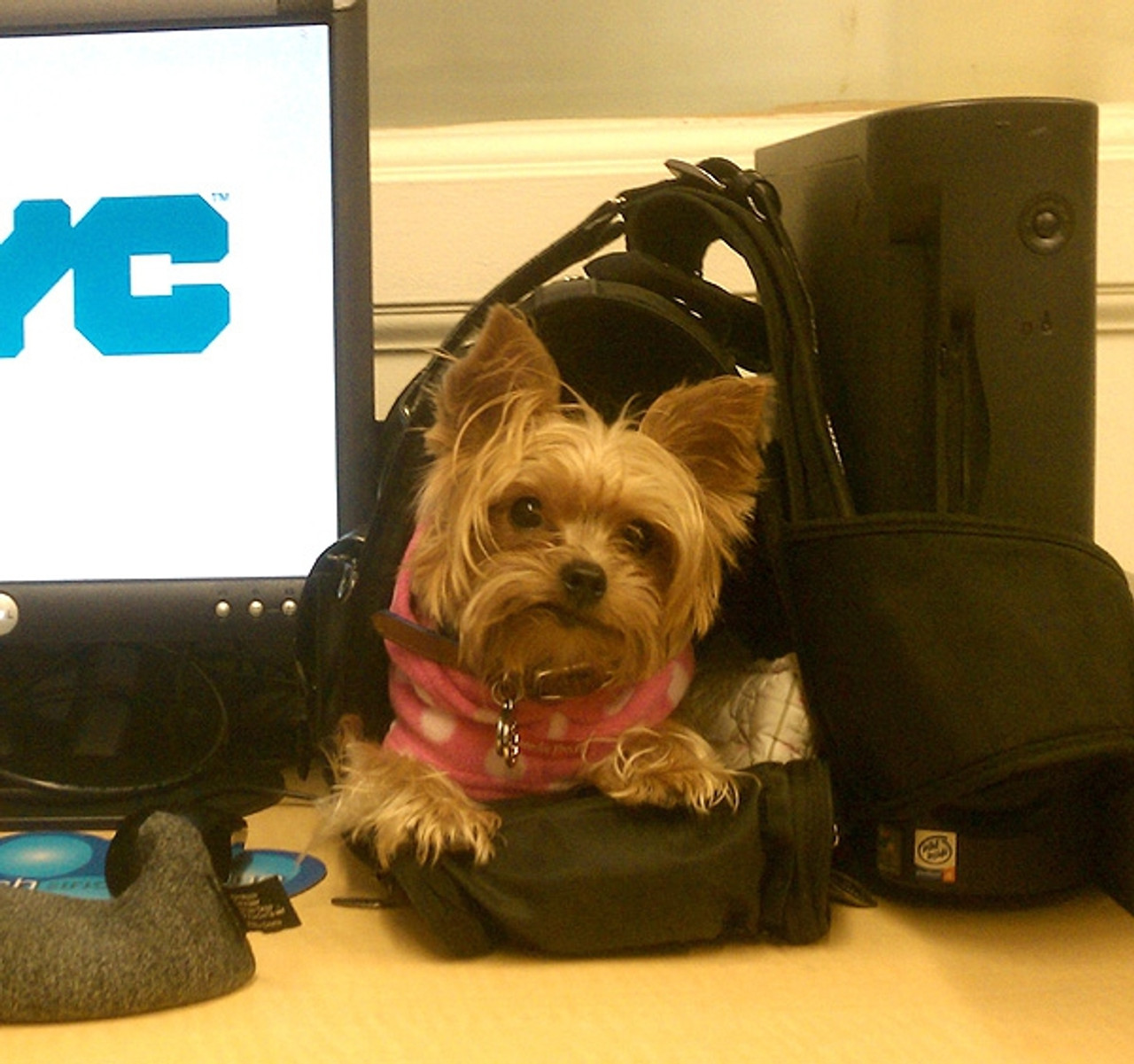 Gaby, a small Yorkie, coming to work
