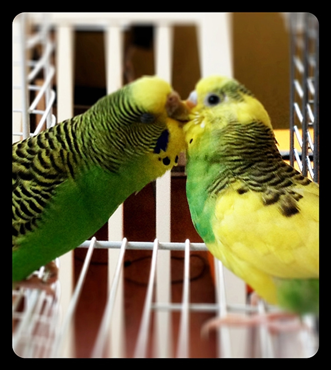 Love between Mom and baby budgies Maki and Pablo