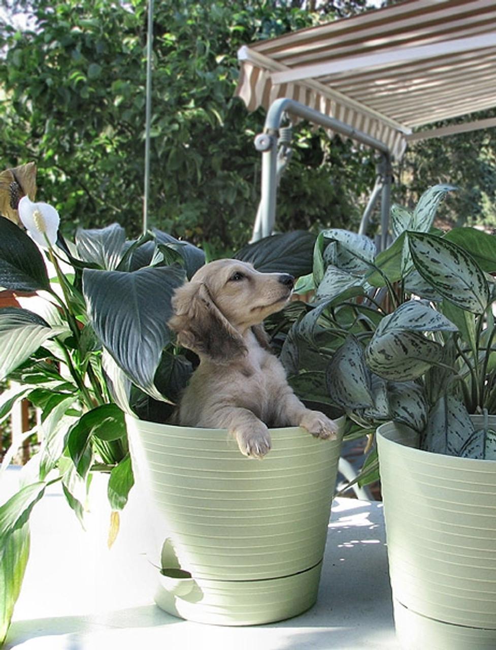 Sue's dachshund