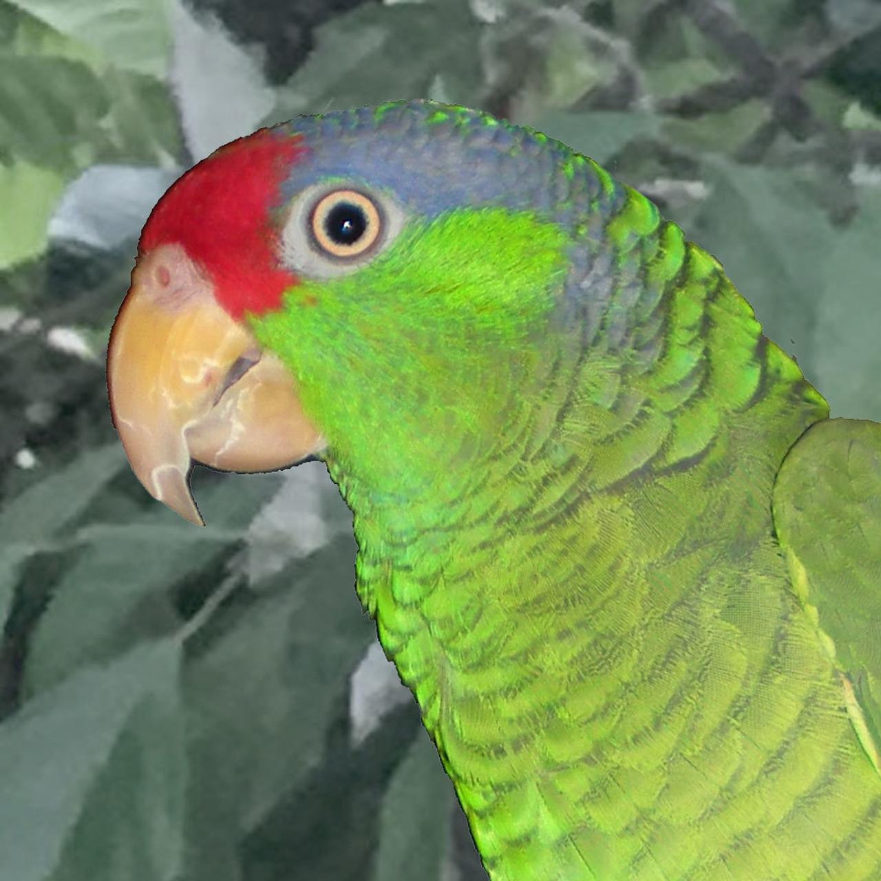 BIRDS & PARROTS - BIRDS by Species - Amazon Parrots