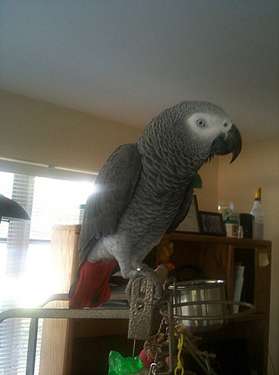 African Grey, the beauty