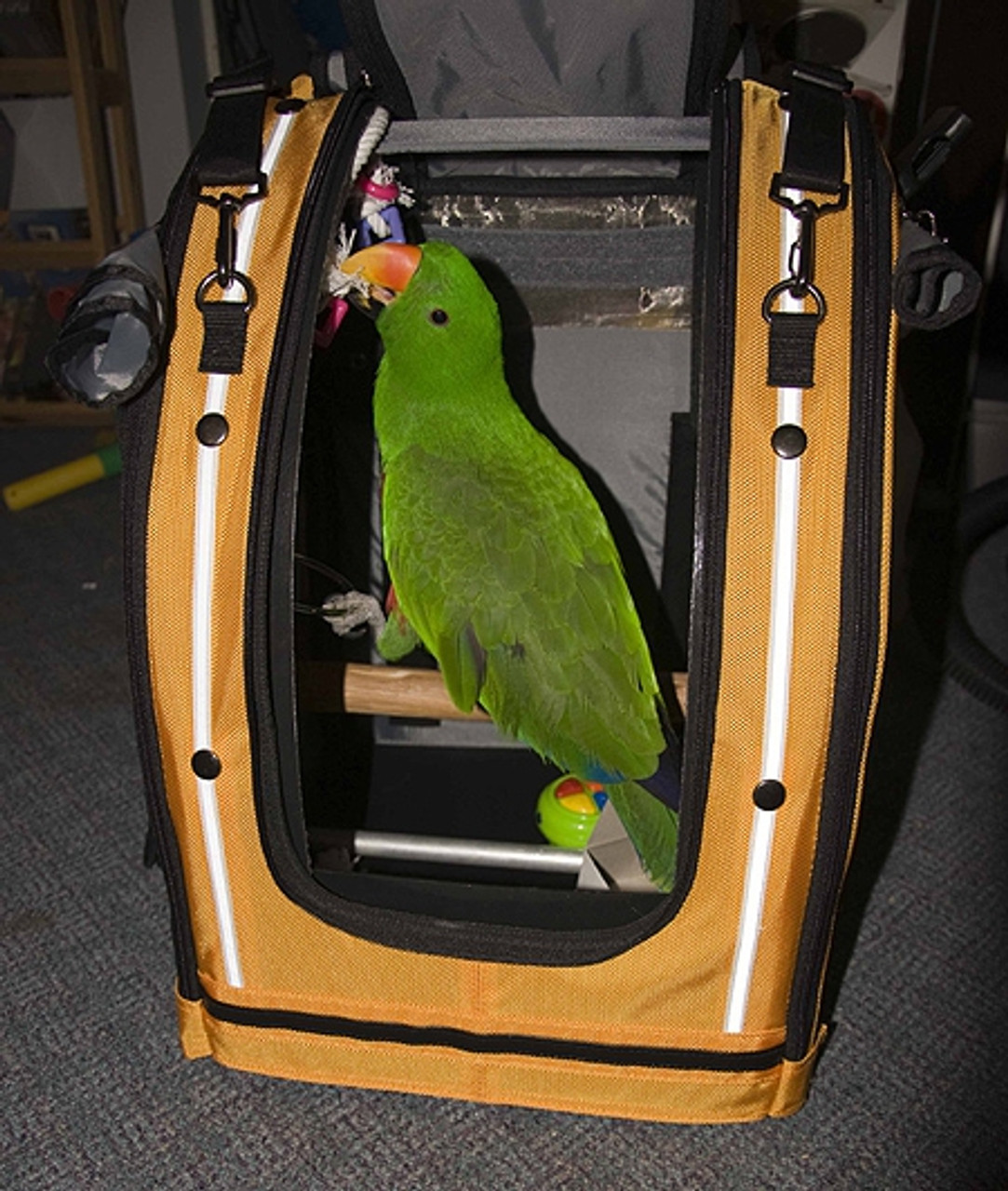 Eclectus Henry likes riding in a car