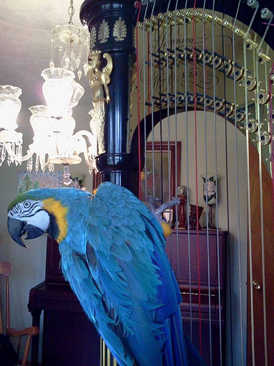 A very talented Blue and Gold Macaw Roberto