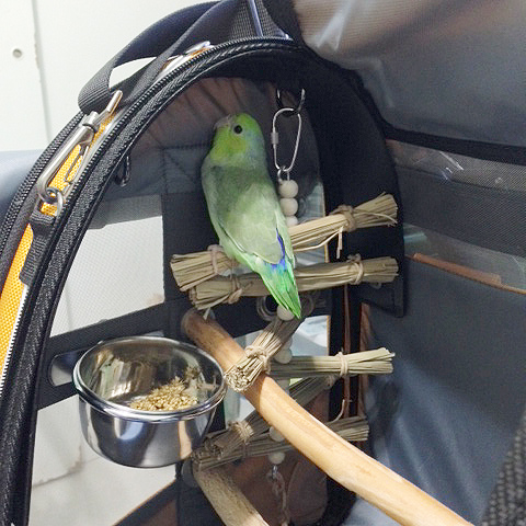 Parrotlet exploring a small size Pak-o-Bird