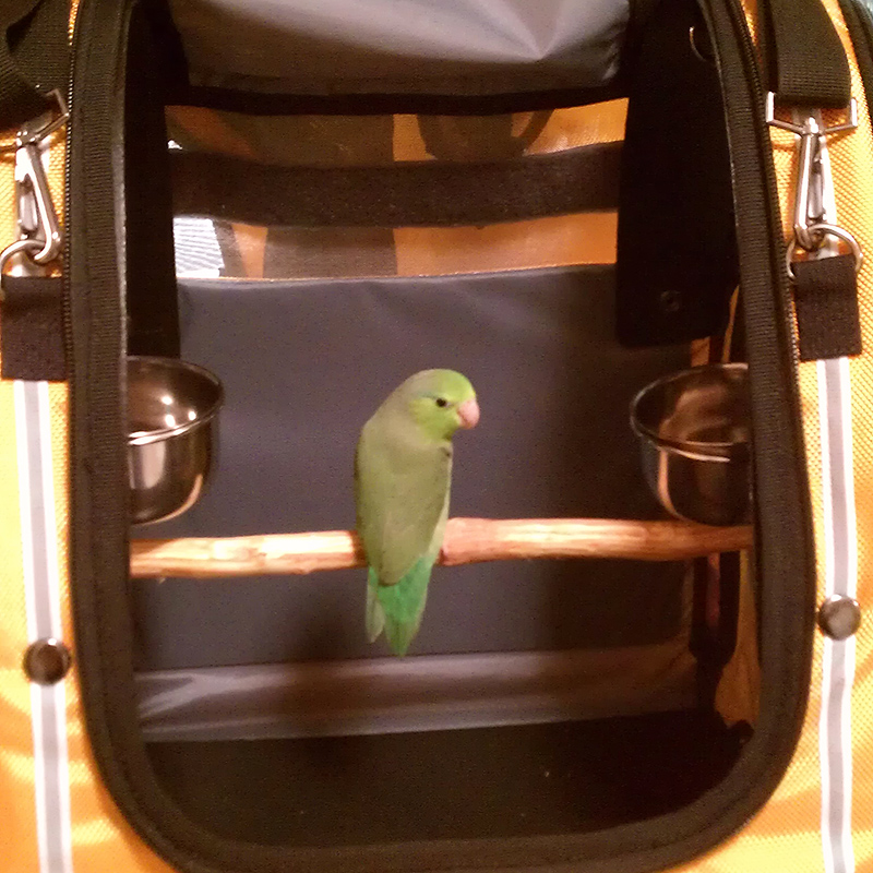 Parrotlet in a mobile mansion