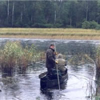 Wild rice harvest in canoe
