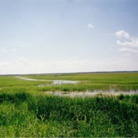 Wild rice at Leech River