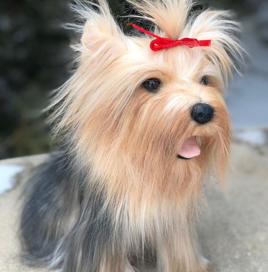 Toodles Plush Yorkshire Terrier