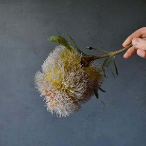 possum-banksia-stem