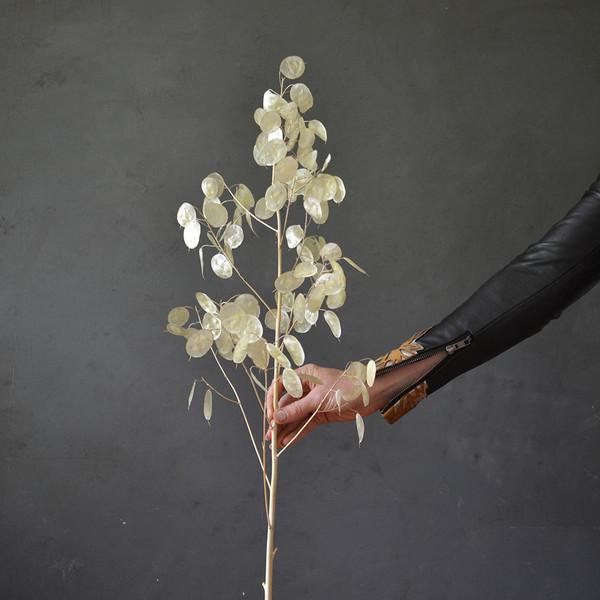botany-dried-lunaria