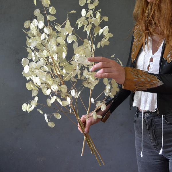 botany-lunaria-dried