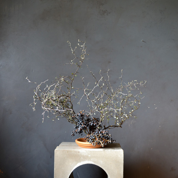 corokia-in-kenzan-botany