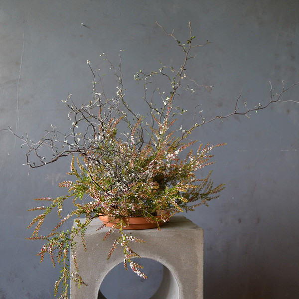 corokia-with-long-kenzan-botany