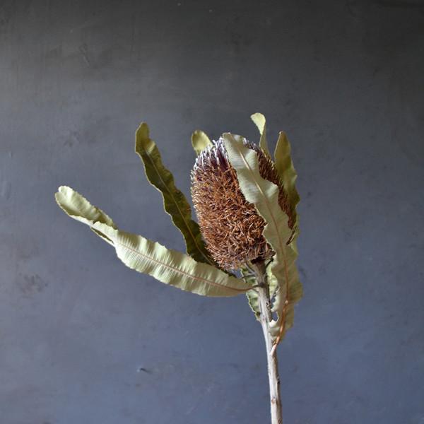botany-dried-banksia-stem