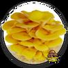 10cc Liquid Mushroom Culture Golden Oyster