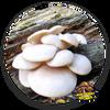 10cc Liquid Mushroom Culture Pearl Oyster