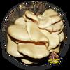 10cc Liquid Mushroom Culture Aspen Oyster (Pleurotus populinus) Maine