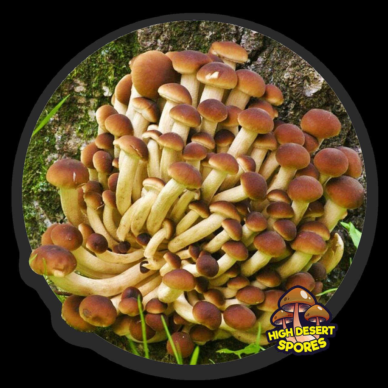 10cc Liquid Mushroom Culture Pioppini