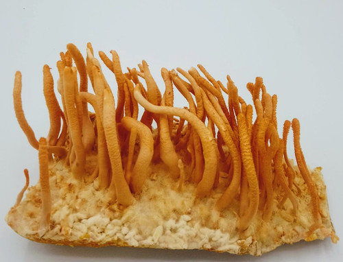 10cc Liquid Mushroom Culture Cordyceps Militaris