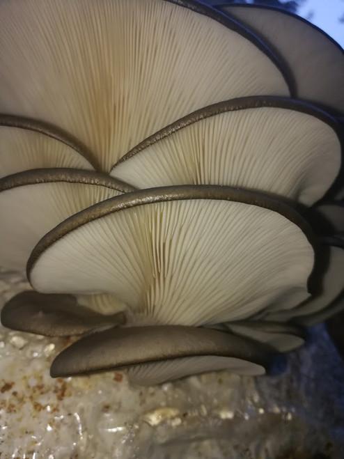 10cc Liquid Mushroom Culture Grey Dove Oyster