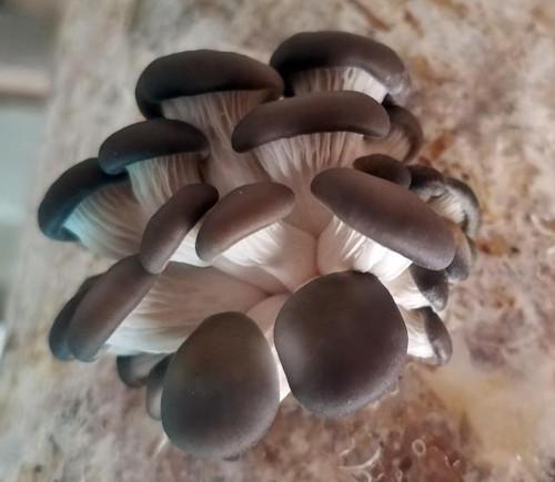 10cc Liquid Mushroom Culture Blue Brat Oyster (Pleurotus ostreatus)