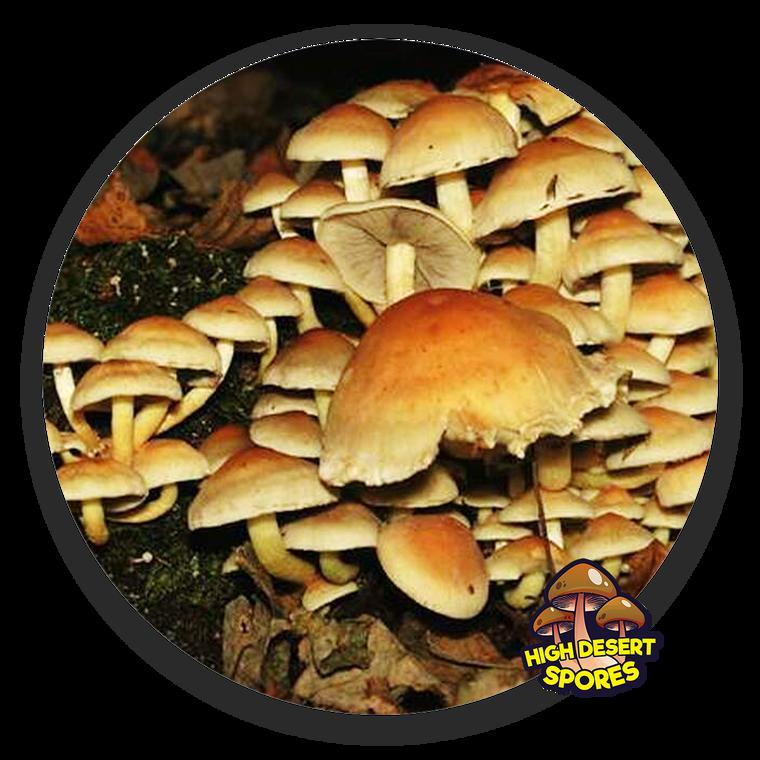 10cc Liquid Mushroom Culture Brick Cap (Hypholoma sublateritium)