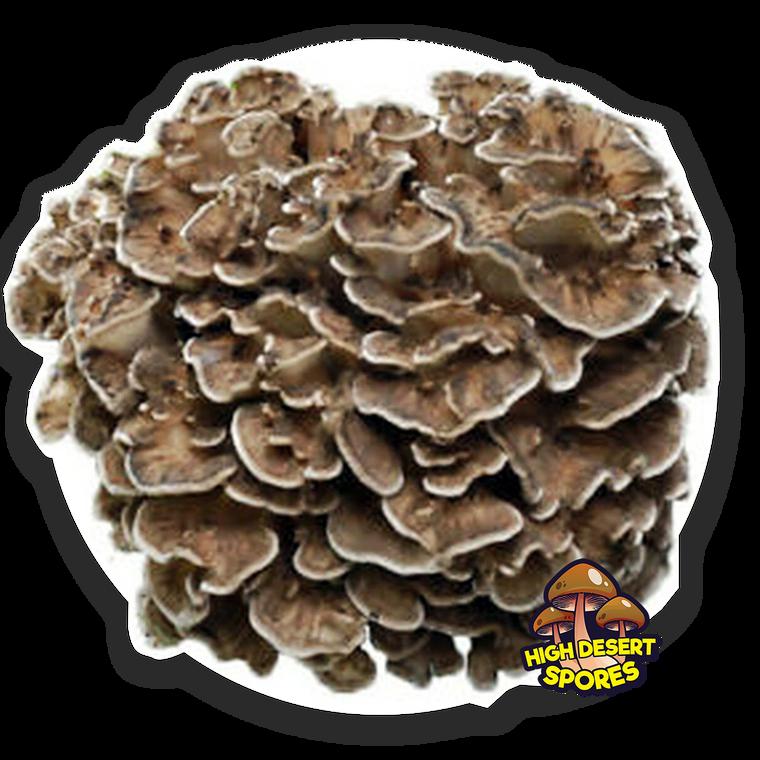 10cc Liquid Mushroom Culture Maitake (Grifola frondosa)