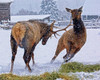 February image in the From Around the Ranch 2020 Calendar - a bull elk challenges a cow elk for a pad of hay that was put out for ranch cattle.
