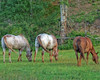 May image in the From Around the Ranch 2020 Calendar - Ranch horses graze side by side on spring grass
