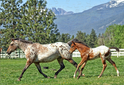 Appaloosa mare and foal jigsaw puzzle