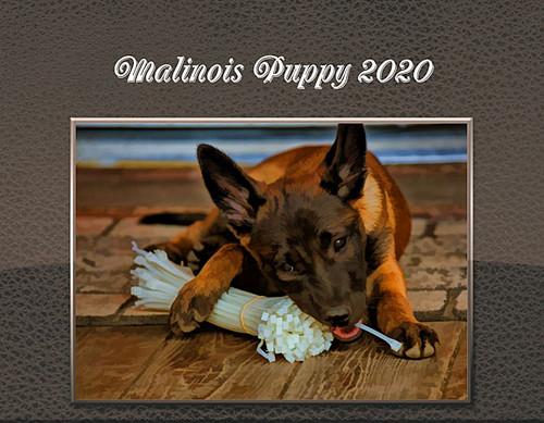 2020 Malinois Puppy Calendar