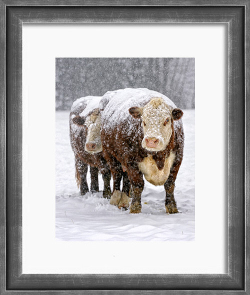 Art Print - Covered in White - Two Hereford cows covered with snow