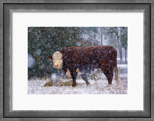 Art Print - Breakfast in the Snow - Hereford bull eats hay during an autumn snow flurry