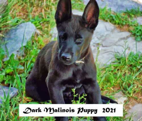 Front cover-Dark Malinois Puppy 2021