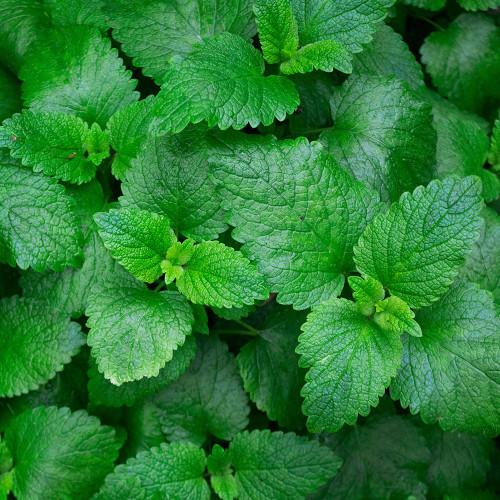 Organic Mint Tea Leaves