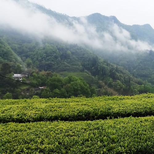 Oolong Samples 2 ea for Virtual Tea Festival