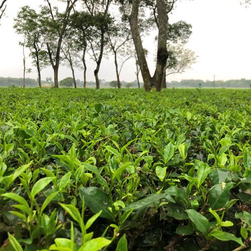 Discover Doke Estate Indian Teas
