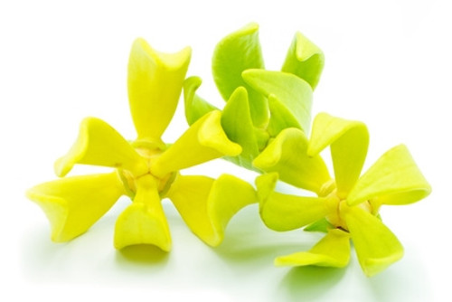Ylang Ylang Essential Oil #3