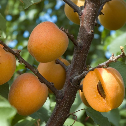 Apricot Fields Fragrance Oil
