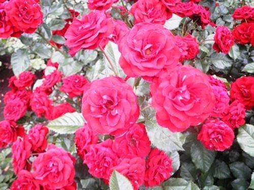 Rose Garden Fragrance Oil