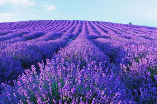 Fine French High Altitude Lavender Essential Oil