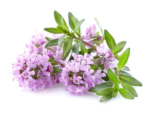Organic Thyme Essential Oil