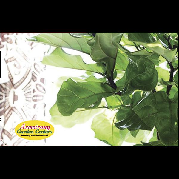 Digital Fiddle Leaf Fig eGift Card