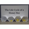 Beeswax life cycle