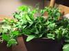 pea seed plant