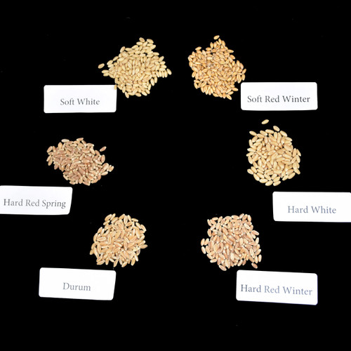 wheat kernel samples