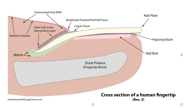 Nail Anatomy from Doug Schoon