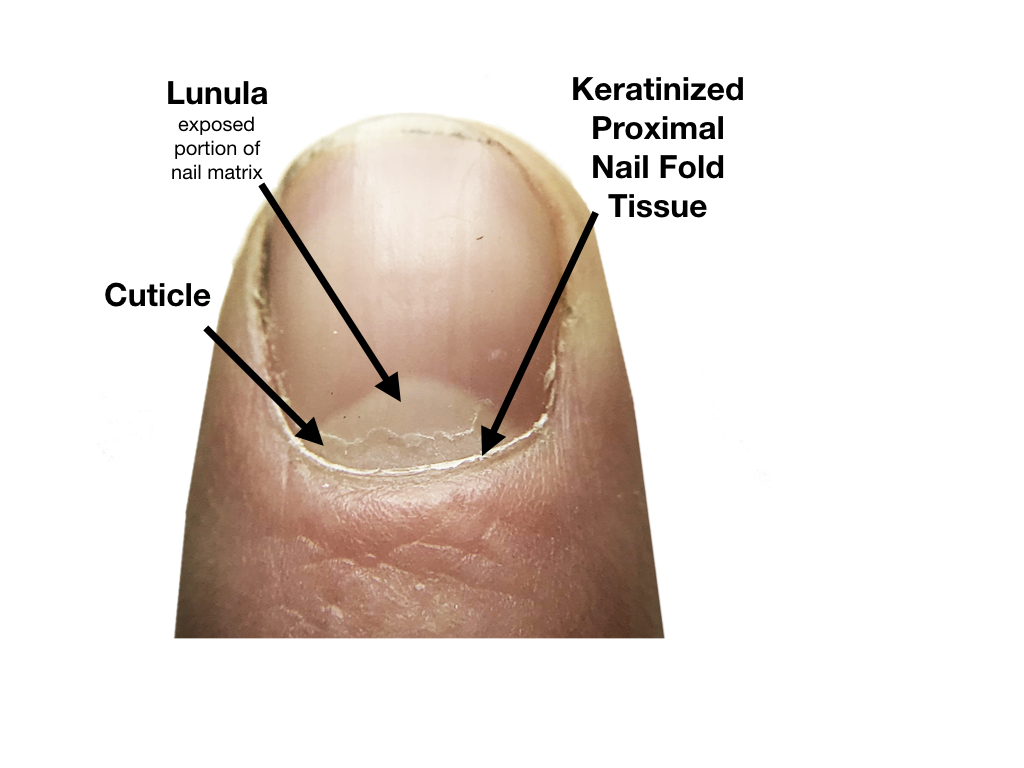 diagram of cuticle nail fold